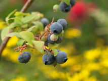 Blueberries. On the branch in the garden stock photos