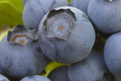 Blueberries. Extreme closeup of ripening blueberries with green leaves in background Stock Photos