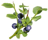 Blueberries. High detailed vector illustration Royalty Free Stock Images
