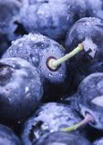 Blueberries. Are a group of flowering plants in the genus Vaccinium, sect. Cyanococcus. The species are native to North America and eastern Asia.  are both Stock Photography