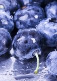 Blueberries. Are a group of flowering plants in the genus Vaccinium, sect. Cyanococcus. The species are native to North America and eastern Asia.  are both Royalty Free Stock Photography