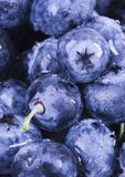 Blueberries. Are a group of flowering plants in the genus Vaccinium, sect. Cyanococcus. The species are native to North America and eastern Asia.  are both Royalty Free Stock Images