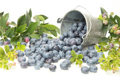 Blueberries. And leaves on white background royalty free stock photo