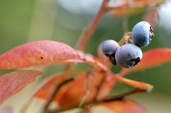 Blueberries stock image