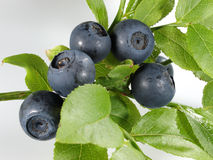 Blueberries. Branch of blueberries on white background Stock Photo