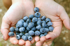 Blueberries. In the palms of Hands Stock Image
