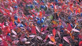 Blueberries in the autumn forest stock video footage