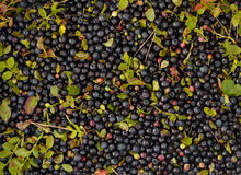 Blueberries background Stock Images
