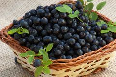 Blueberries in basket with leaves. Wild blueberries grown in the wood Royalty Free Stock Images