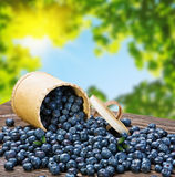 Blueberries in a basket is scattered Stock Photography