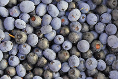 Blueberries and bilberries Stock Photography