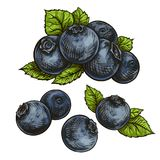 Blueberries bilberry royalty free illustration