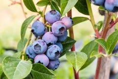 Blueberries on blueberry bush Stock Images