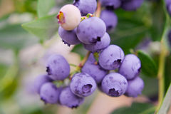 Blueberries, blueberry bush Stock Photography