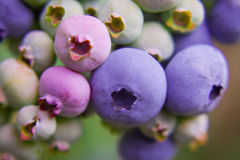 Blueberries, blueberry bush Stock Photos