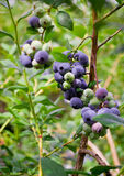 Blueberries, blueberry bush Stock Photo