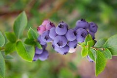 Blueberries, blueberry bush Royalty Free Stock Photos