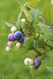 Blueberries on Blurred Background Royalty Free Stock Photo