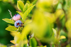 Blueberries on a branch in garden, summer healthy fruit with leaves Stock Photography