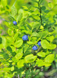 Blueberries branch. Huckleberry Royalty Free Stock Image