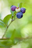 Blueberries on branch with leaves on green background Stock Image