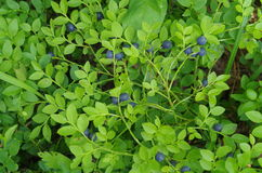 Blueberries branches Stock Photo