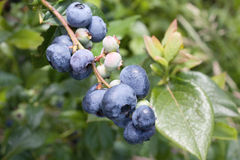 Blueberries on the brunch. Fresh blueberries on the brunch Royalty Free Stock Photo