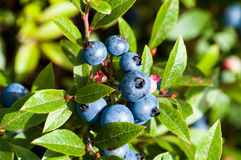 Blueberries bunch of 10 Stock Image