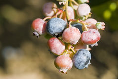 Blueberries on the Bush Stock Photography
