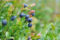 Blueberries in bush. Close on blueberries in bush stock image