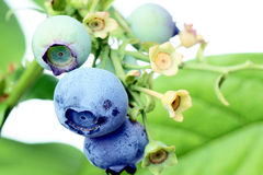 Blueberries on the bush. Stock Images