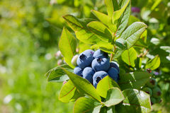 Blueberries on the bush Royalty Free Stock Image