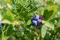 Blueberries on the bush Royalty Free Stock Photos