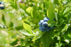 Blueberries on the bush Royalty Free Stock Images