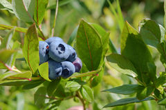 Blueberries on the bush Stock Images