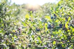 Blueberries, Bush, Nature Stock Photography