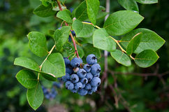 Blueberries on bush royalty free stock image