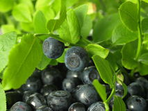 Blueberries from the bush Royalty Free Stock Photo