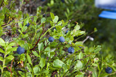 Blueberries on Bush Stock Photography