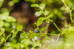 Blueberries on bushes stock image