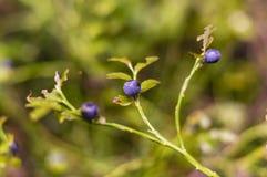Blueberries on bushes Royalty Free Stock Image