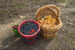 Blueberries and Chanterelles gathering Royalty Free Stock Images
