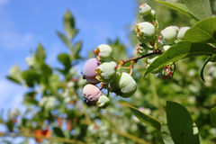 Blueberries Close to Harvesting Stock Images