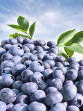 Blueberries close-up Stock Image