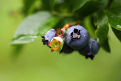 Blueberries. Close up on a green background Royalty Free Stock Images