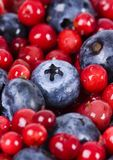 Blueberries and cranberries. Blueberries are a group of flowering plants in the genus Vaccinium, sect. Cyanococcus. The species are native to North America and Stock Image