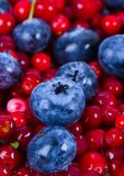 Blueberries and cranberries. Blueberries are a group of flowering plants in the genus Vaccinium, sect. Cyanococcus. The species are native to North America and Royalty Free Stock Photography