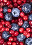 Blueberries and cranberries. Blueberries are a group of flowering plants in the genus Vaccinium, sect. Cyanococcus. The species are native to North America and Royalty Free Stock Images