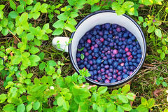 Blueberries in the cup. Stock Image
