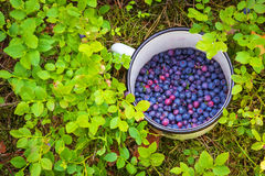 Blueberries in the cup. Picking berries. In the woods royalty free stock image